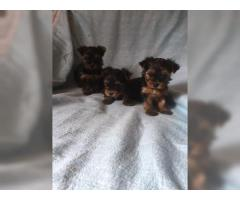 Cachorros Yorkshire Terrier peni