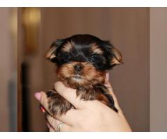 YORKSHIRE TERRIER Machos y hembras disponibles