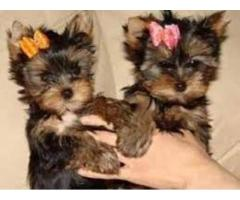 cachorros yorkshire terrier mini